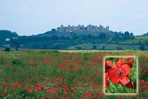 Culturile de mac din Toscana